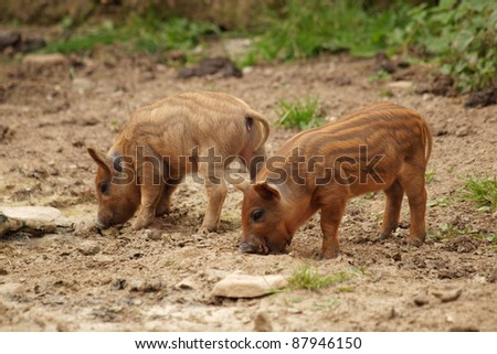 Two little pig - stock photo