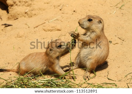 Two little prairie dogs fighting over food