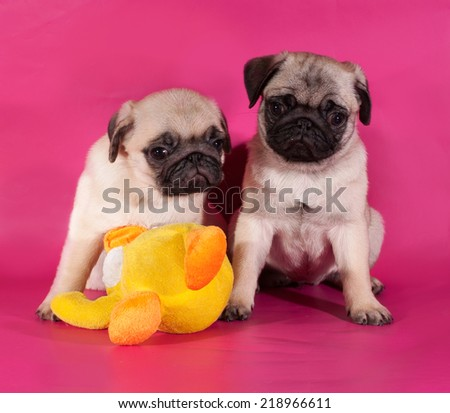 Two little pug puppy sitting on pink background - stock photo