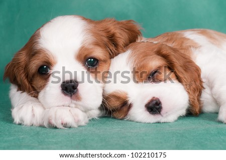Two little puppies of a Cavalier King Charles spaniel, one is sleeping - stock photo