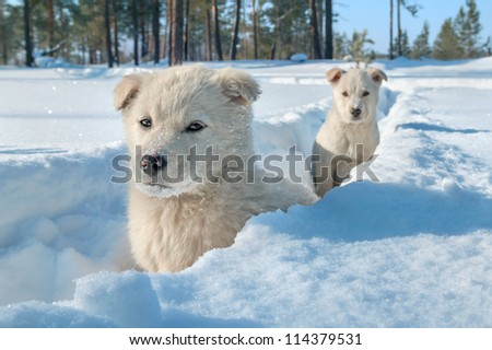 Two little puppy in deep snow. - stock photo
