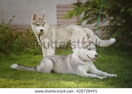 Two little puppy of Siberian husky dog - stock photo