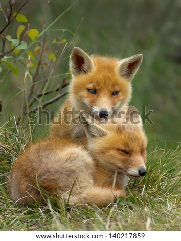 Two little red fox cub - stock photo