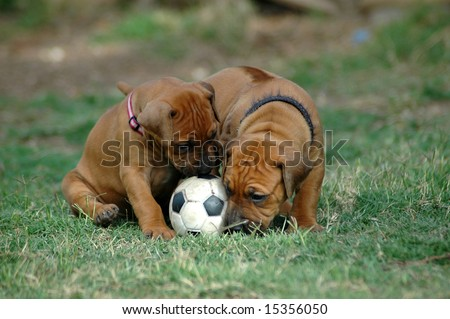 Two little Rhodesian Ridgeback hound dog puppies with cute expression in their faces playing together with a black and white soccer ball pet toy in the grass of the lawn in the backyard outdoors - stock photo