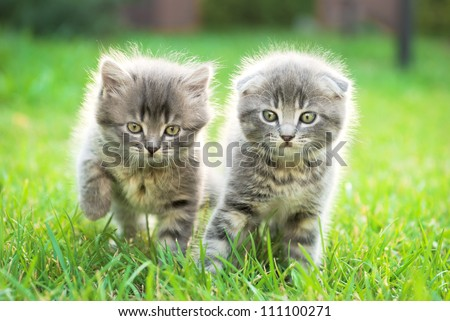 two little Scottish Fold kittens in the green grass - stock photo