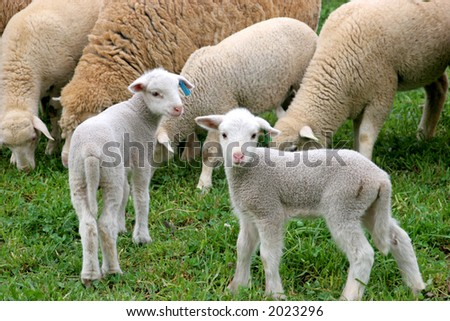 Two little sheep lambs standing on a grass field - stock photo