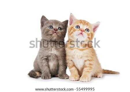 Two little sitting british shorthair kittens cat isolated - stock photo
