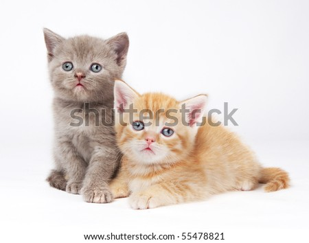 Two little sitting (lying) purebred british shorthair kittens cat isolated - stock photo