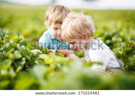 Two little twins boys on pick a berry farm picking strawberries in bucket.