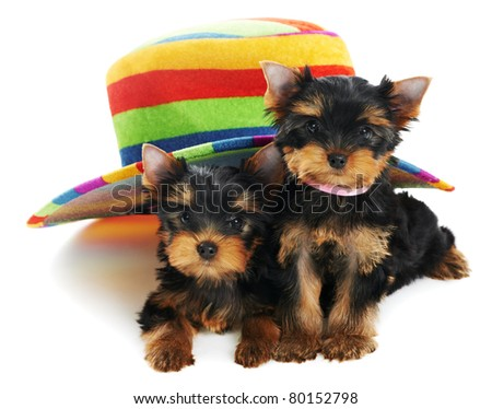 Two little Yorkshire Terrier (3 month) puppies dog under colorful hat isolated over white background - stock photo
