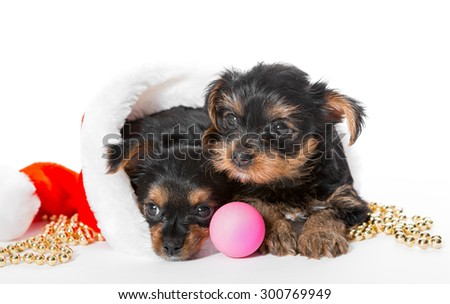 Two Little Yorkshire Terrier puppy sitting  in Santa hat - stock photo