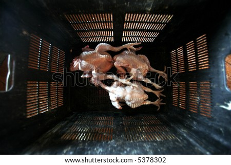 Two live chickens - stock photo