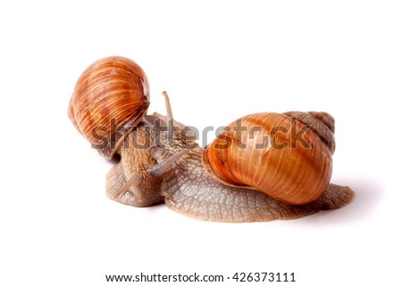 two live snail crawling on white background close-up macro - stock photo