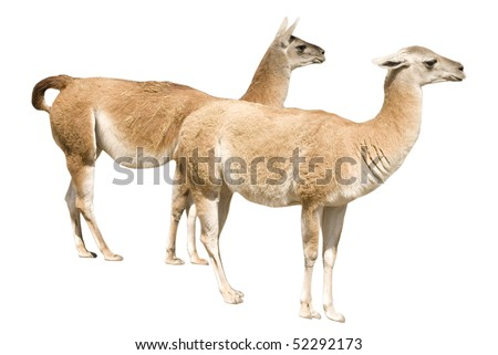 Two llamas (isolated on white) - stock photo