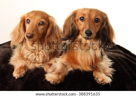 Two longhair dachshund dogs photographed in studio.