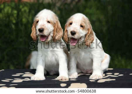 Two looking English cocker spaniel puppies on dark background - stock photo