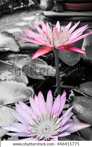 Two lotus flowers background