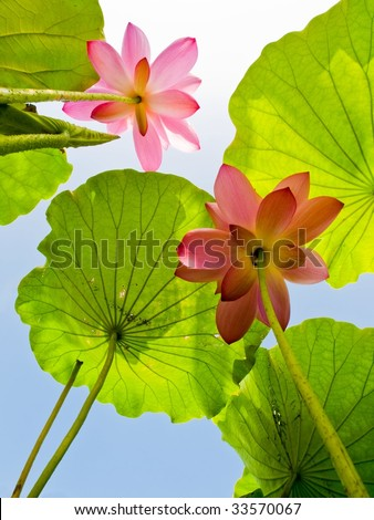 Two lotus flowers rise up to the sky - stock photo