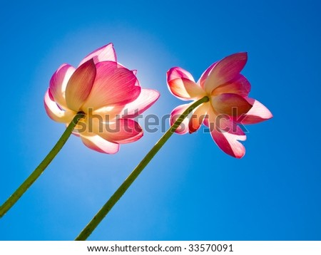 Two lotus flowers rise up to the sky