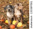 Two Louisiana Catahoula puppies with pumpkins in Autumn - stock photo
