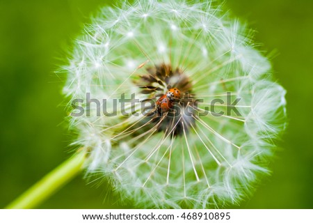 Two love-making seven-spot ladybirds captured in the center of a dandelion going out of bloom.