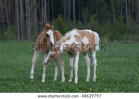 Two lovely foals playing on pasture