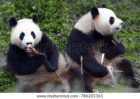 two lovely giant panda bear eating bamboo shoots