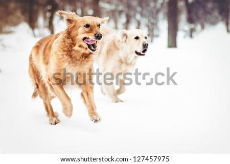 two lovely golden retriever - stock photo