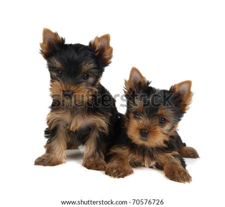 Two lovely puppies of the Yorkshire Terrier isolated on white - stock photo