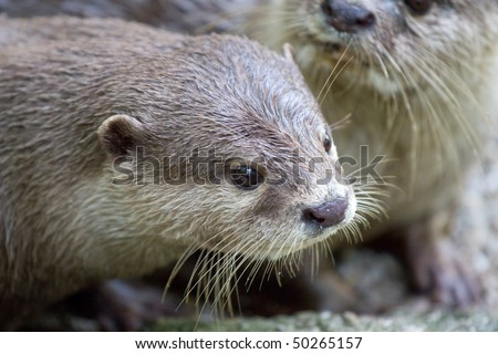 Two Lovely Sea Otters - stock photo
