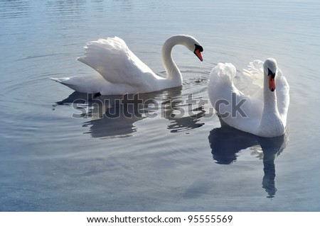 Two lovely swans on the cold water - stock photo