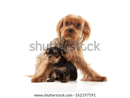 Two lovely young puppies of the Yorkshire Terrier on white background