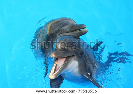 two lovers dolphin swimming in the pool - stock photo