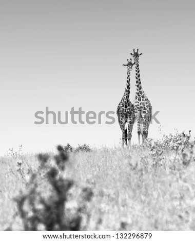 Two lovers giraffes in Masai Mara National Park - Kenya (black and white) - stock photo