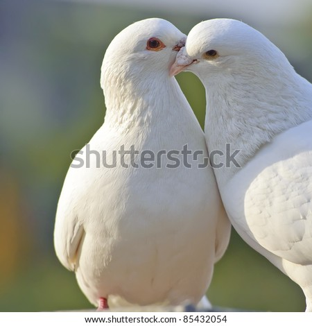 two loving white doves - stock photo