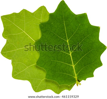 Two lush green leaf closeup with isolated white background