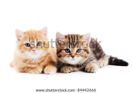 Two lying british shorthair kittens cat isolated - stock photo