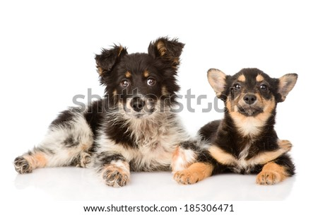two lying puppy looking at camera. isolated on white background - stock photo