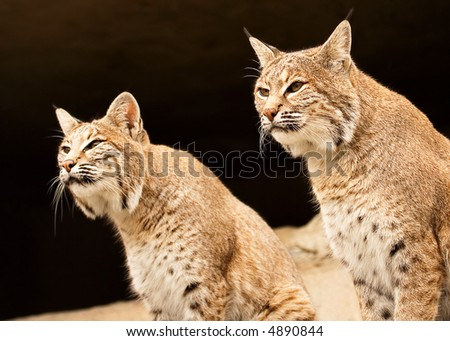 Two lynces looking - stock photo