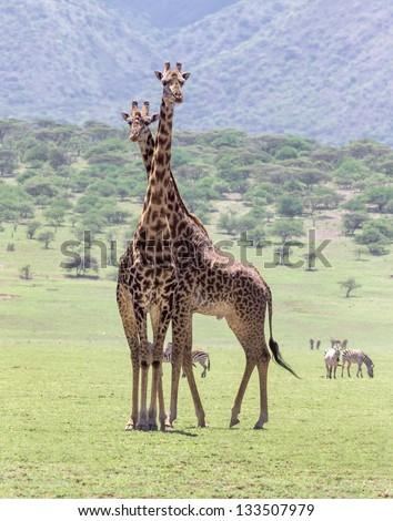 Two maasai giraffes in the Serengeti National Park - Tanzania, East Africa - stock photo