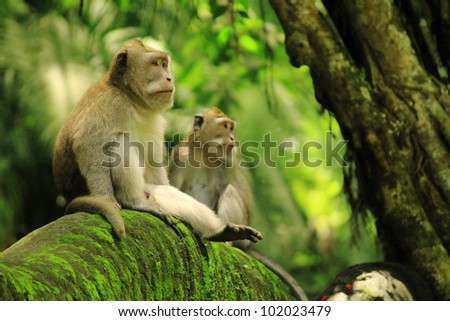 Two macaques in monkey forest sitting on bridge - stock photo