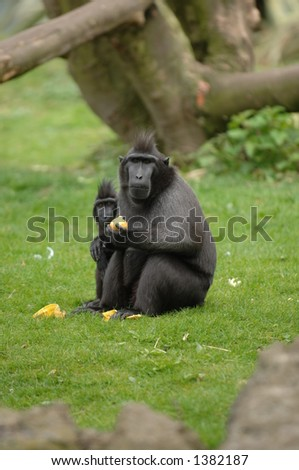 Two Macaques staring at the camera wondering what I'm up to! - stock photo