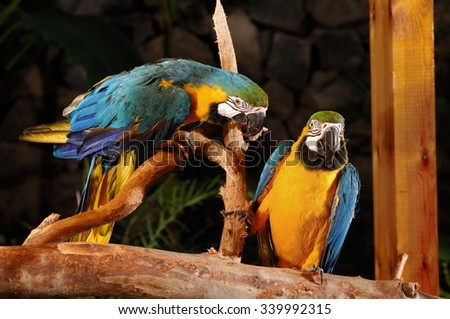 Two Macaw parrot talking together on a tree - stock photo