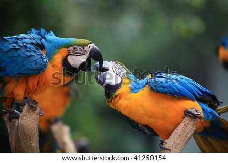 Two  macaw parrots playing  on tree - stock photo