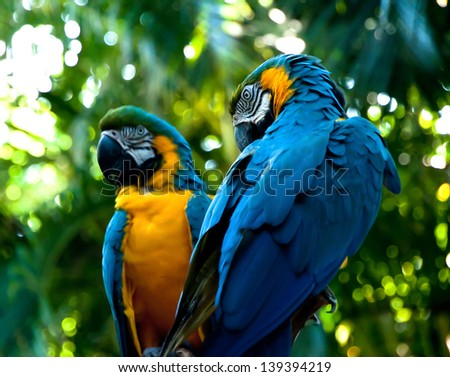 Two Macaws in Rainforest - stock photo
