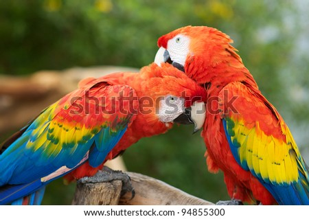 Two Macaws Preening Each Others head feathers