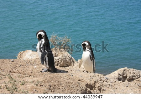 two magellan penguins in the Peninsula Valdes Natural Reserve - stock photo
