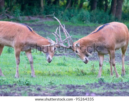 Two mail deer fighting - stock photo