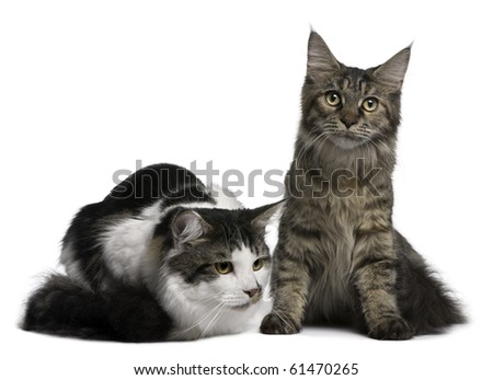 Two Maine Coon Cats, 8 and 9 months old, in front of white background