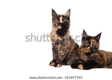 Two Maine Coon kittens sitting in front of white background. Cat sitting. Cat three months. - stock photo